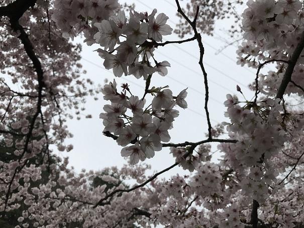桜が一気に開花しましたね〜